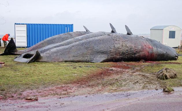 Forscher vermuten: Sonnenstürme könnten Walstrandungen ausgelöst haben