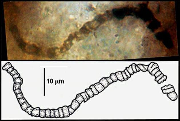 Fossilien zeigen: Das irdische Leben ist mindestens 3,5 Milliarden Jahre alt