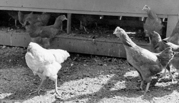 Huhn lebt ohne Kopf