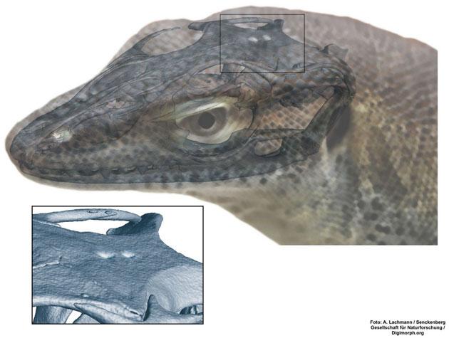 Reptilienfossil mit vier Augen entdeckt