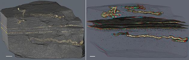 Diese Scans zeigen die Nähe der röhrenförmigen Fossilien zu Fossilien einstiger Mikrobenmatten im heutigen Umgebungsgestein. Copyright: A. El Albani & A. Mazurier / IC2MP / CNRS - Université de Poitiers