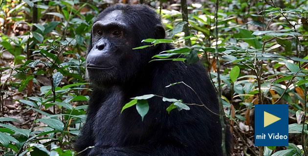 Symbolbild: SchimpanseCopyright: mtanenbaum (via Pixabay.com) / Pixabay License