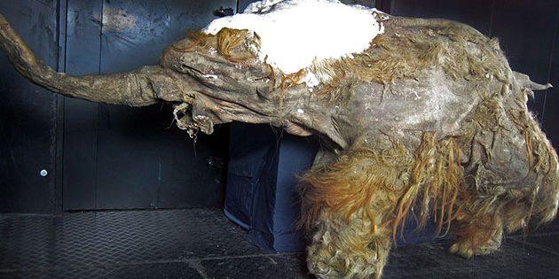 """""""Yuka"""" gehört zu den besterhaltenen Mumien eines Wollhaarmamuts. Copyright: Cyclonaut (via WikimediaCommons) / CC BY-SA 4.0"""