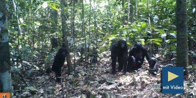 Schimpansen bemerken eine Wildtierkamera.Copyright/Quelle: LuiKotale Bonobo Project / eva.mpg.de