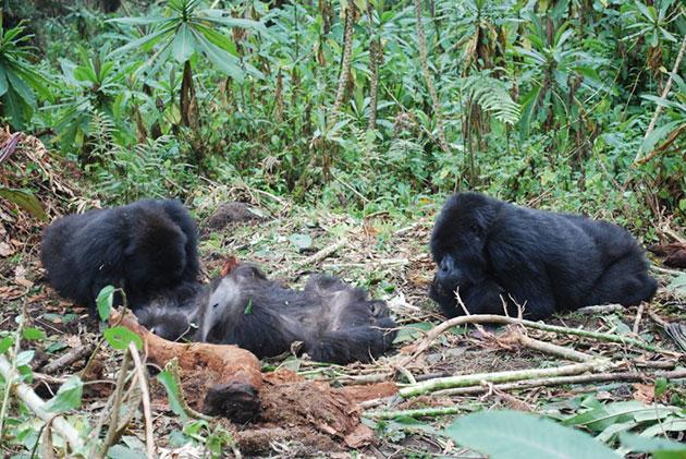 Gorillas inspizieren den Körper eines nur wenige Stunden zuvor verstorbenen Gruppenmitglieds. Copyright: Dian Fossey Gorilla Fund International