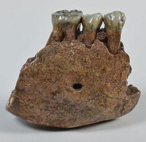 Unterkieferfragment von Meganthropus palaeojavanicus. Copyright: Senckenberg