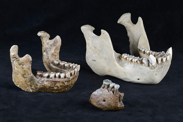 Vergleich Meganthropus-Unterkieferfragment mit Orang Utan-Kiefer und Homo erectus-Kieferrekonstruktion. Copyright: Senckenberg