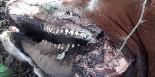 Detailansicht der Verstümmelungen im Kieferbereich der Kuh. Copyright/Quelle: Ariel Sorribes / infocampo.com.ar