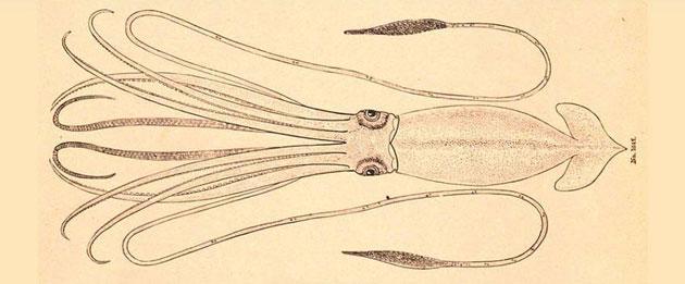 Riesenkalmar (Illu.). Copyright: Irken, CC-BY-SA 3.0