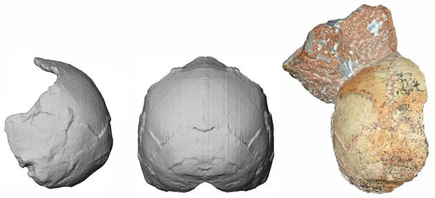 """Der """"Apidima 1""""-Schädel (rechts) und seine Rekonstruktion von hinten (Mitte) und in linker Seitenansicht (links). Die runde Form ist ein Merkmal des modernen Menschen und hebt sich deutlich von Neandertaler-Schädeln ab. Copyright: Katerina Harvati, Universität Tübingen"""