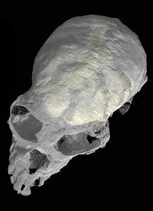 Hochauflösendes CT-Scan des Schädels Copyright: Xijun Ni and AMNH