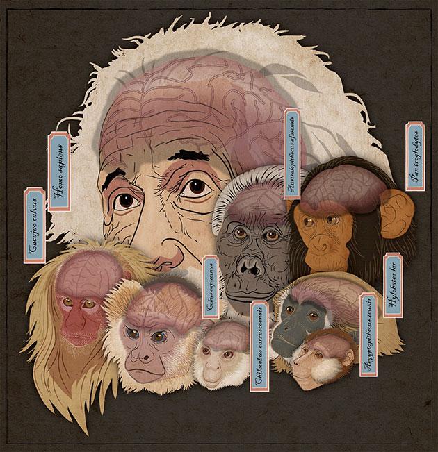 Illustration der unterschiedliche Hirngrößen unterschiedlicher Primatenarten. Copyright: Xiaocong Guo/Xijun Ni