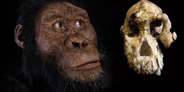 Der 3,8 Millionen Jahre alte fossile Schädel eines Australopithecus anamensis (l.) und die dazugehörige Gesichtsrekonstruktion. Copyright: Dale Omori (Schädel) und Matt Crow (Rekonstruktion), Cleveland Museum of Natural History