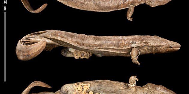 Museumspräparat eines kleineren Exemplars der nun als eigene Art beschriebenen Art von Chinesischen Riesensalamander beschriebenen Andrias sligoi. Quelle/Copyright: Zoological Society of London library