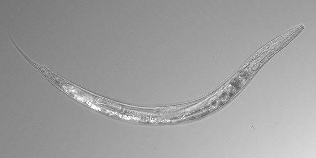 Mikroskopaufnahme: Der Fadenwurm Auanema sp. ist gegen hohe Arsendosen resistent und kommt sowohl in weiblicher, männlicher als auch in hermaphroditer Form im kalifornischen Mono Lake vor. Copyright: Caltech