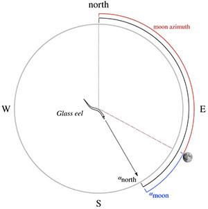 Schaubild zur Ausrichtung der Glasaale (Illu.). Copyright/Quelle: A. Cresci et al., Royal Society Open Science, 2019