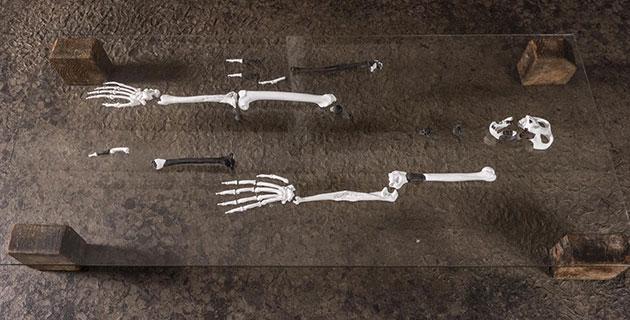 Blick auf das anhand von Teilfunden rekonstruierte Skelett eines Danuvius guggenmosi. Copyright/Quelle: Christoph Jäckle / uni-tuebingen.de