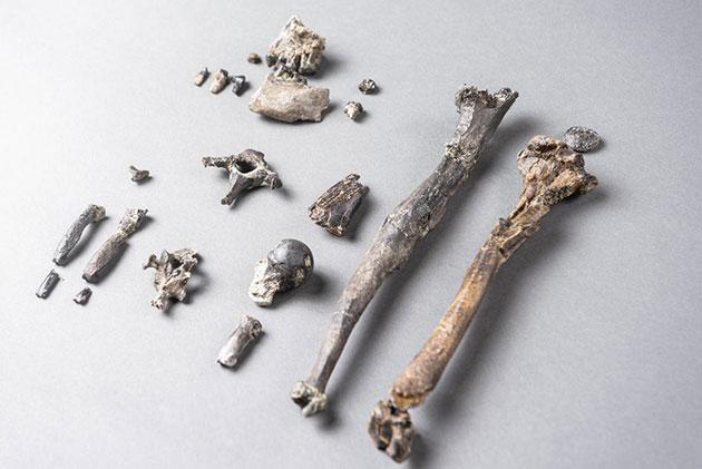 Die 21 Knochen des am vollständigsten erhaltenen Teil-Skelettes eines männlichen Danuvius. Copyright/Quelle: Christoph Jäckle / uni-tuebingen.de