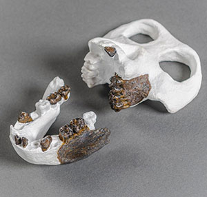 Rekonstruktion (weiße Knochen) des Schädels und des Unterkiefers Copyright/Quelle: Christoph Jäckle / uni-tuebingen.de