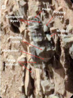 Zeigt diese Rover-Aufnahme eine Insekten-Fossil auf dem Mars? In diesen Aufnahmen vom Mars erkennt Romoser die Merkmale einer Schlange (A) und einer weiteren Schlange mit einem Insekt im Maul (C, D). Copyright/Quelle: Romoser, 2019/ NASA
