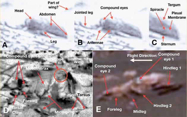 """Die Struktur auf dieser Aufnahme deutet der anerkannte Insektenexperte Romoser als """"käferartigen"""" Organismus (A, B, C) und verweist auf das gleichzeitige Vorhandensein nahezu sämtlicher für ein Insekt typische Körpermerkmale und Segmente, wie er sie auch auf weiteren Rover-Fotos entdeckt und identifiziert haben will (D, E, F, G). Copyright/Quelle: Romoser, 2019/ NASA"""