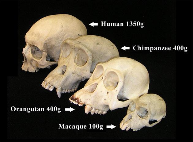 Vergleichende Anatomie: Schädel von Mensch, Schimpanse, Orang-Utan und eines Makaken mit Angabe des durchschnittlichen Hirngewichts. Copyright: Christopher Walsh (via WikimediaCommons) / CC BY-SA 2.5