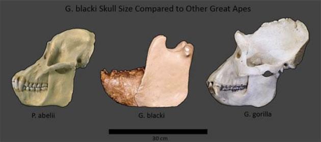 Größenvergleich der Kiefer/Schädel des Giganopitecus (Mitte) mit anderen Menschenaffen. Quelle: Meldrum