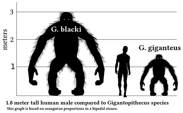 Rekonstruktion der vermuteten Größe: G. blacki (links) und G. giganteus (rechts) in der Körperhaltung eines aufrecht stehenden Orang-Utans; in der Mitte: Homo sapiens. Copyright: Discott (via WikimediaCommons) / CC BY-SA 3.0