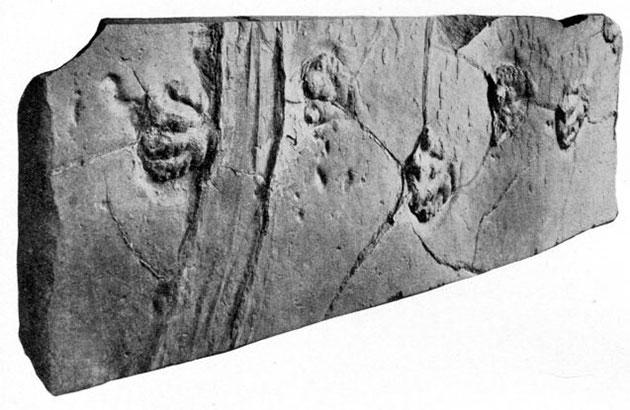 Der im Dinosaur State Park ausgestellte Sandstein zeigt neben fossilen Abdrücken von Dinosauriern und Säugetieren auch eine markante Schleifspur. Copyright: Lull, R.S., 1915