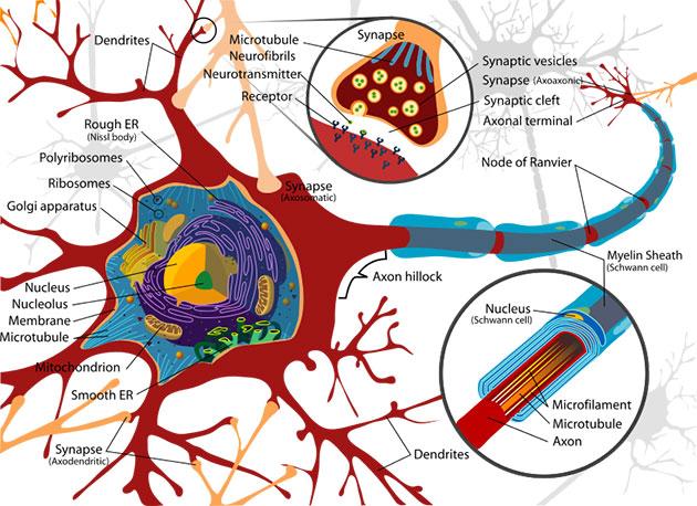Archivbild: Grafische Darstellung des Aufbaus einer Neuronalen Zelle (Illu.) Copyright: Public Domain