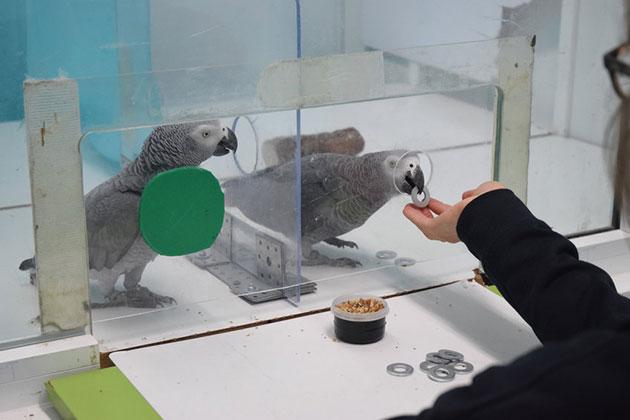 Im den Verhaltensexperimenten beobachtet ein Papageienweibchen, wie eine Artgenossin Metallmarken, gegen Futter eintauscht. Ihr selbst ist der direkte Weg zum Eintausch verschlossen. Was passiert? Copyright: Max-Planck-Institut für Ornithologie / Comparative Cognition Group