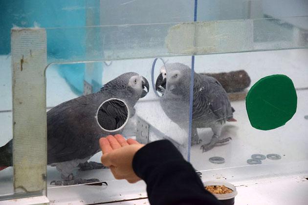 Nachbarschaftshilfe: Erhält ein Vogel keine Marke, reicht der Nachbar seine eigene oft weiter und verzichtet dadurch auf die eigenen Futterbelohnung. Copyright: Max-Planck-Institut für Ornithologie / Comparative Cognition Group