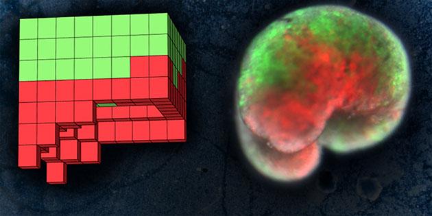 Basierend auf einem anatomischen Schaltplan (l.) haben US-Wissenschaftler mit Hilfe von Frosch-Haut- (grün) und Herz-Zellen (rot) einen neuen, lebenden Organismus erzeugt. Copyright: Sam Kriegman, UVM