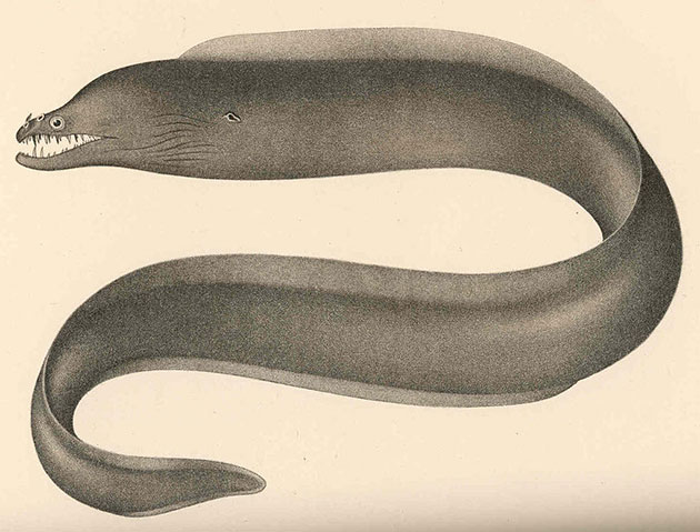 Enchelynassa vinolentus (Illu.). Copyright: Public Domain