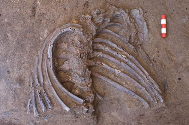 """Rippen und Wirbelsäule des Neandertaler-Individuums """"Shanidar Z"""". Copyright: Graeme Barker"""