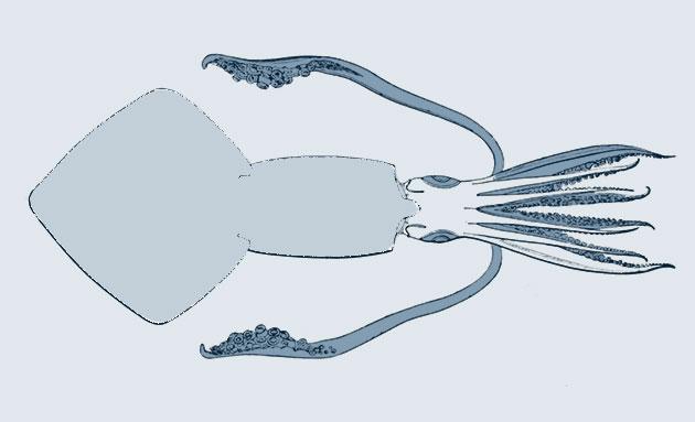 Der Nordamerikanische Kalmar in einer anatomischen Darstellung (Illu.). Copyright: Public Domain