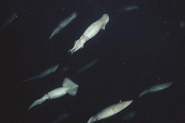 Humbold-Kalmare in 200 Metern Tiefe vor der Monterey Bay. Copyright: MBARI