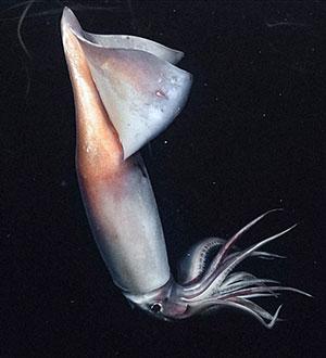 300 Meter unter der Meeresoberfläche zeigt ein Humbold-Kalmar ein wechselndes Farbmuster auf seiner Haut. Copyright: MBARI
