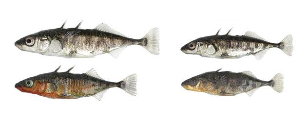 Im und um den Bodensee finden sich zwei Ökotypen des Dreistachligen Stichlings, die sich unter dem Einfluss ihres jeweiligen Lebensraums entwickelt haben: links der See-Stichling, rechts der Fluss-Stichling. Die beiden Ökotypen unterschieden sich in zahlreichen Merkmalen des Körperbaus und Verhaltens; am auffälligsten sind die Unterschiede in der Körpergröße und in der Brutfärbung der Männchen (untere Reihe). Copyright/Quelle: Universität Basel, Daniel Berner