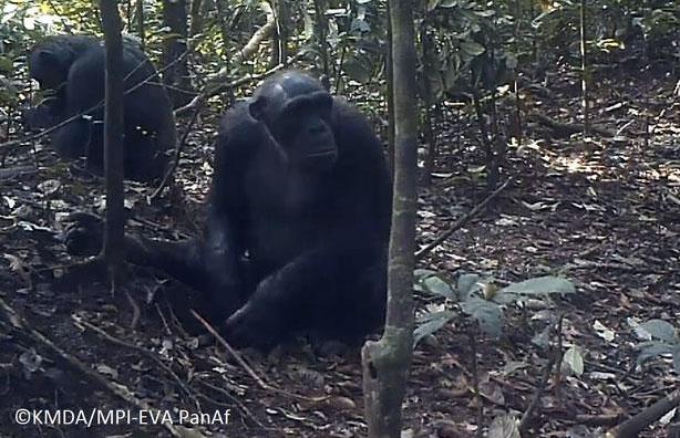 Schimpansen in La Belgique, Kamerun. Copyright: KMDA / MPI -EVA PanAf