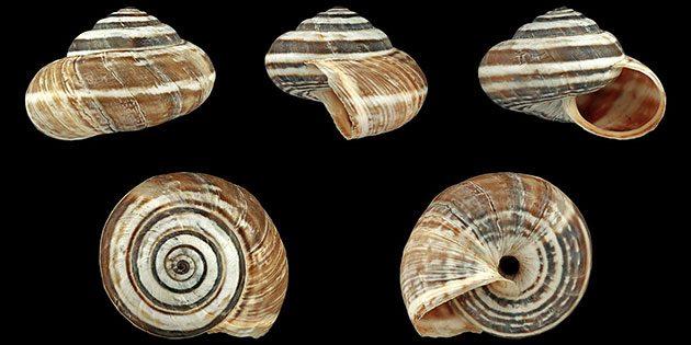 Gehäuse der Mittelmeer-Heideschnecke (Cernuella virgate). Copyright: H. Zell (via WikimediaCommons) / CC BY-SA 3.0