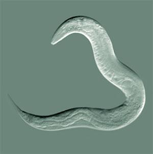 Der Spulwurm Caenorhabditis elegans Copyright: Bob Goldstein, UNC Chapel Hill (via Wikimedia Commons) / CC BY-SA 3.0