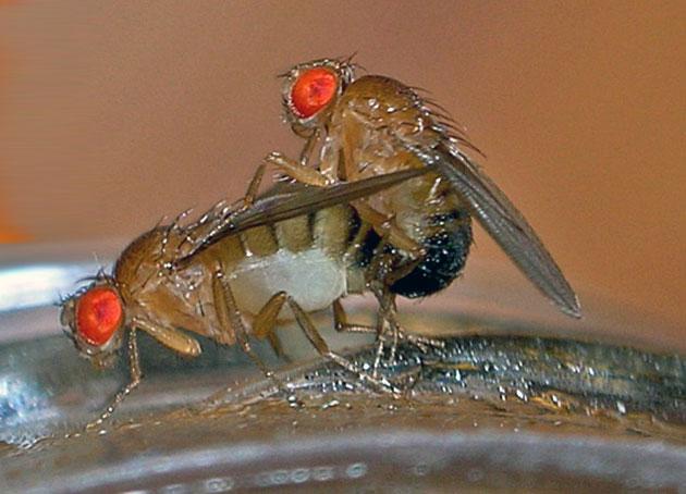 Kopulierende Fruchtfliegen Copyright: TheAlphaWolf (via WikimediaCommons) / CC BY-SA 3.0