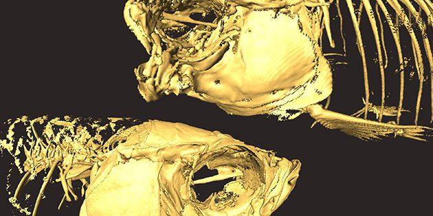 Das Skelett eines mutierten Zebrafisches mit versteiftem Kiefer (o.) im Vergleich zu einem normalen Zebrafisch. Copyright: Tetsuto Miyashita