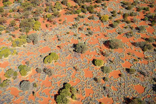 Auch an diesem Übergang von Eukalyptus- und Akazienbäumen zu einem Triodia-Grasland ordnen sich die Stachelgräser zu runden, kahlen Lücken an, der australischen Variante sog. Feenkreise. Copyright: Stephan Getzin