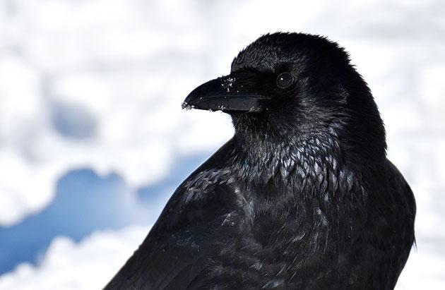 Symbolbild: Rabenvogel Copyright: Alexas_Fotos (via Pixabay.com) / Pixabay License
