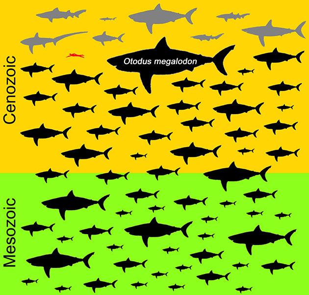 Die Grafik zeigt die Verteilung der Maximalgröße aller 70 bekannten fleischfressenden Makrelenhaiarten (Lamnidae). Heute noch lebende Arten sind grau, ausgestorbene Arten schwarz dargestellt. Ein erwachsener Taucher ist zu Vergleichszwecken rot abgebildet. Auffallend ist, dass Otodus megalodon mit einer Körperlänge von 15 Metern sich auch von seinen Zeitgenossen deutlich absetzt. Copyright/Quelle: Kenshu Shimada / DePaul University