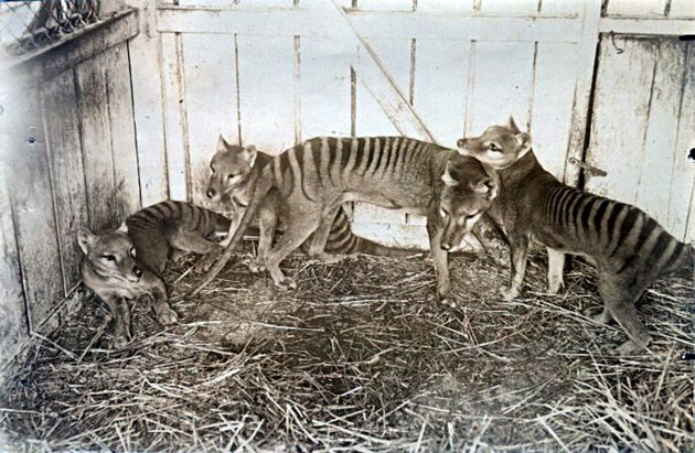 Tasmanische Tiger, fotografiert 1910 im Beaumaris Zoo in Hobart. Copyright: Gemeinfrei