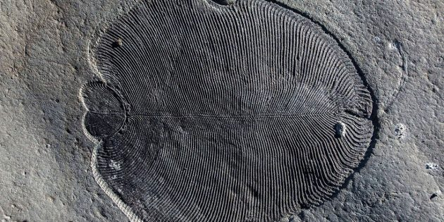 Ein besonders gut erhaltenes Fossil der Gattung Dickinsonia. Copyright: Ilja Bobrovskiy, ANU