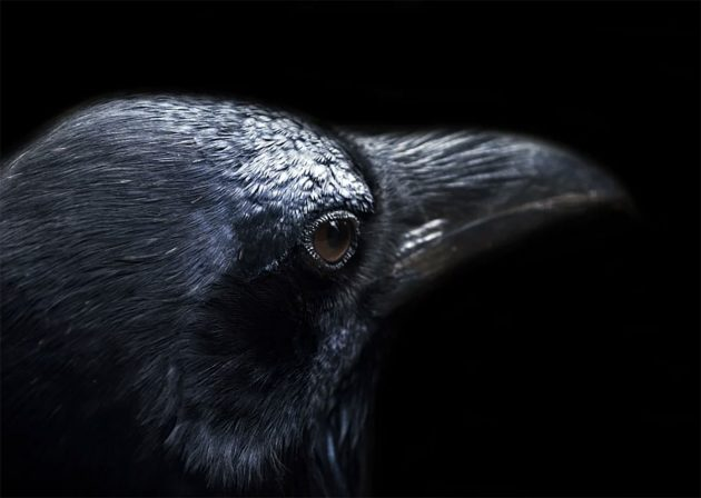 Symbolbild: Rabenvogel. Copyright: Public Domain